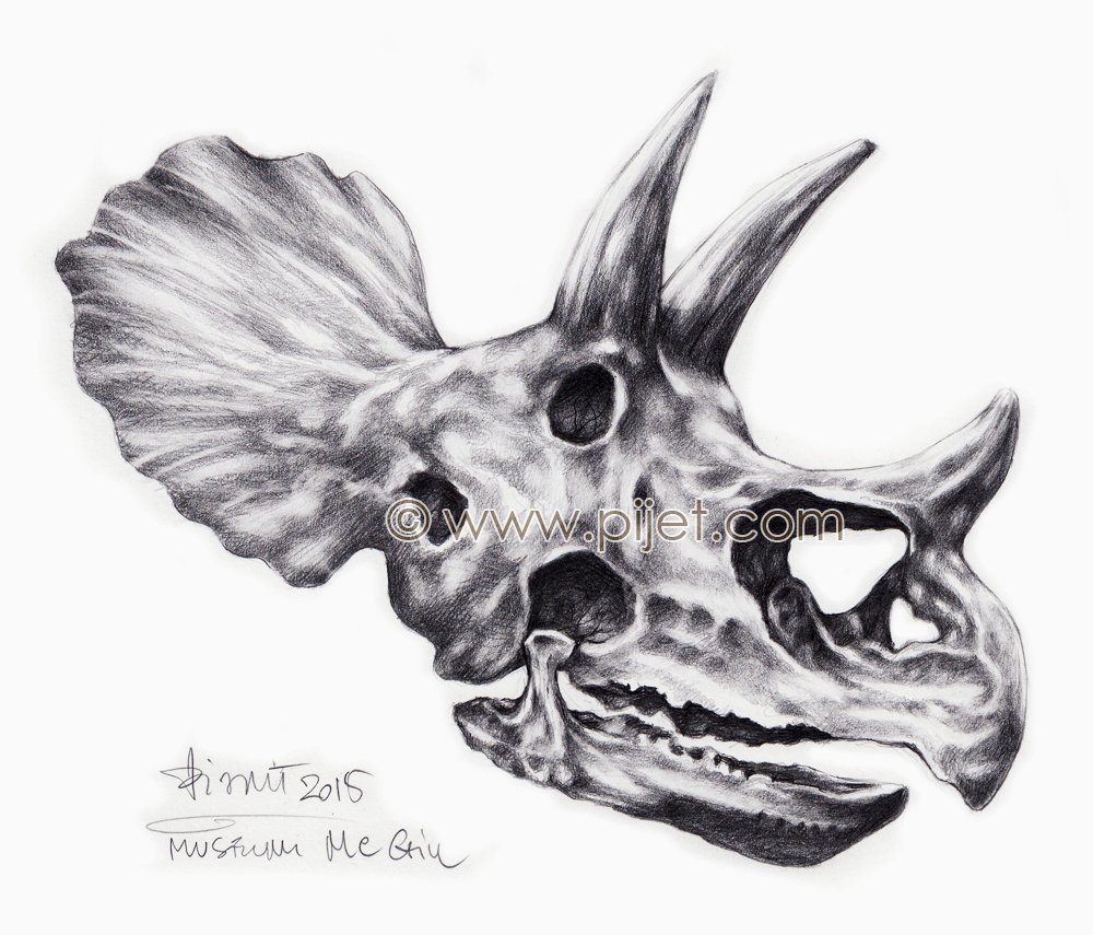 TRICERATOPS's scull  from McGill Museum